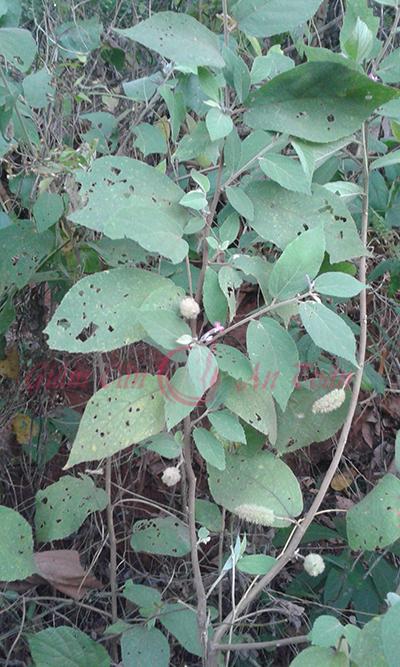 cây an xoa thần dược hổ trợ bệnh gan giảm mỡ bụng đã cứu sông tôi- phần 3