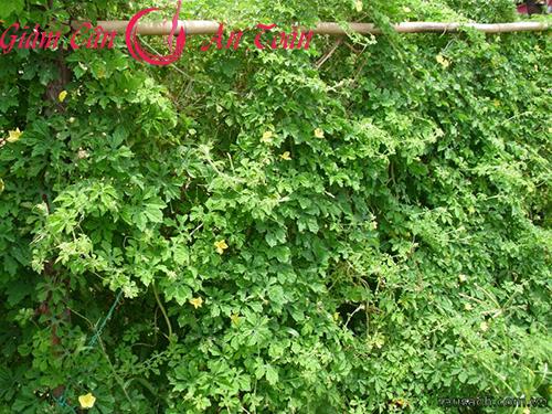 Ngọt lành từ rau miền núi giúp giảm cân an toàn-phần 1