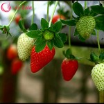 Các loại quả không hạt tốt cho giảm béo