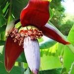 Thực đơn giảm cân giữa tuần hấp dẫn từ hoa chuối